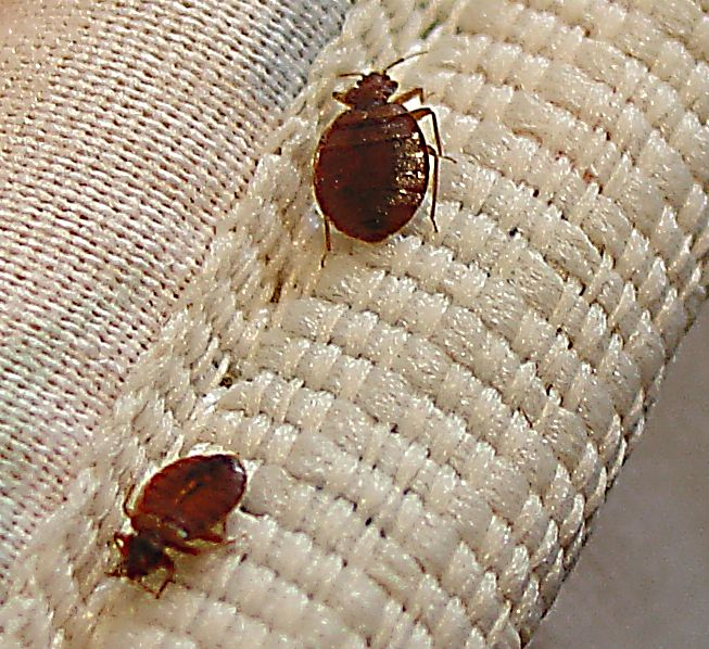 Lice vs Bed Bugs http://doctorbulldog.wordpress.com/2010/08/30/did-the-epa-contribute-to-the-bed-bug-epidemic/